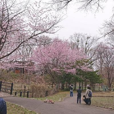 自宅近くの、エドウィンダン公園の桜が見事に満開になりました。