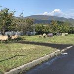 仁木町の羊